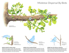 MISTLETOE DISPERSAL