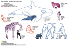 MAMMALIAN BABIES: This infograph shows 8 types of mammalian parents and their babies compares their size, gestation period and fraction of mother's weight. This scientific animal graphic was drawn in Adobe Illustrator for National Geographic News