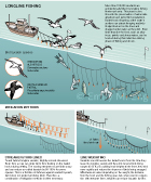 LONGLINE SEABIRD BYCATCH: This infographic shows the longline fishery's threat to wandering albatross and white-chinned petrels seabirds. This scientific animal graphic was drawn in Adobe Illustrator for Smithsonian Magazine Online News