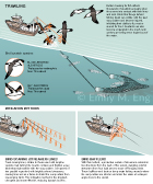 TRAWLING SEABIRD BYCATCH: This information graphic shows the trawling fishery's threat to black-brown albatross and shy albatross seabirds. This scientific animal graphic was drawn in Adobe Illustrator for Smithsonian Magazine Online News