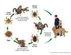 California Tick Host Life Cycle depicts the natural history of CA tick. Drawn in colored pencil the ticks were scanned and arranged with painted Adobe Photoshop hosts, like a squirrel, robin, deer, raccoon, dog and humans. This scientific diagram was created for the Bay Area Lyme Foundation